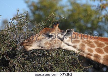 Cape giraffe (Giraffa camelopardalis giraffa), eating leaves from a thorny shrub, South Africa, Kruger National Park - Stock Photo