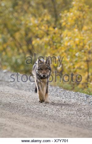 Wolf, Canis lupus, pup, autumn, walking on dirt road, Grant Creek pack, Denali National Park, Alaska, vertical, wild - Stock Photo