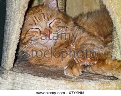 Red cat. Domestic long-haired cat. Marmalade tabby. - Stock Photo