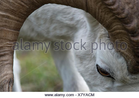 Close up of the head and antlers of a Dall's sheep, Ovis dalli. - Stock Photo