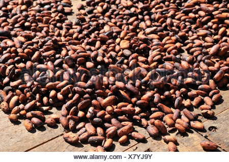 Coco beans spread to dry, Bolivia, South America - Stock Photo