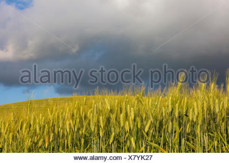 Clouds and sun on the green rolling hills and ears of corn Crete Senesi (Senese Clays) province of Siena Tuscany Italy Europe - Stock Photo