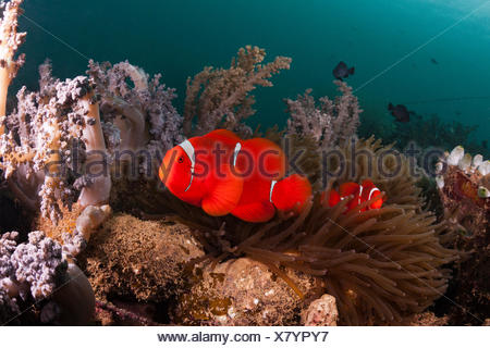 Anemone fish in the Lockheed P-38 Lightning Fighter aircraft wreck, Marovo lagoon, the Solomon Islands - Stock Photo