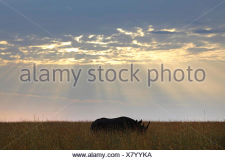 black rhinoceros, hooked-lipped rhinoceros, browse rhinoceros (Diceros bicornis), in the morning on high grass, Kenya, Masai Mara National Park - Stock Photo