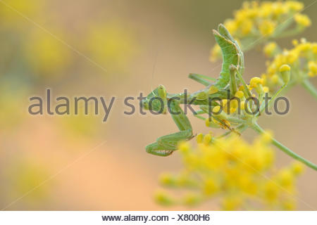 European Dwarf Mantis (Ameles spallanzania), on the flower of whild fennel (Foeniculum vulgare), lying in wait for prey, Algarve - Stock Photo