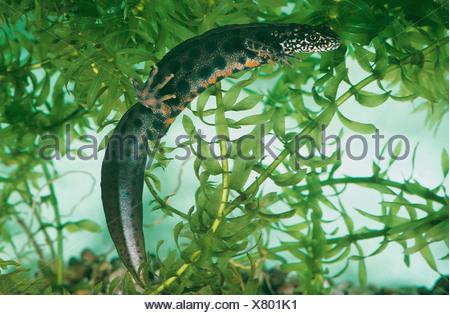 Great Crested Newt - swimming / Triturus cristatus - Stock Photo