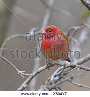 Red-billed fire finch (Lagonosticta senegala), male sitting in a bush, South Africa, Kruger National Park - Stock Photo