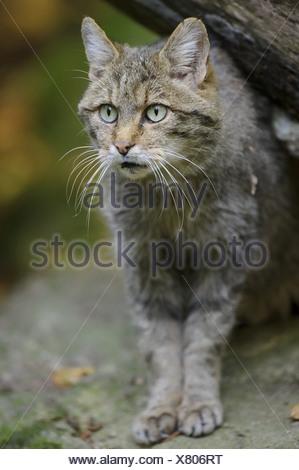 Wildcat, Felis silvestris, Bavarian Forest, Bavaria, Germany, Europe - Stock Photo