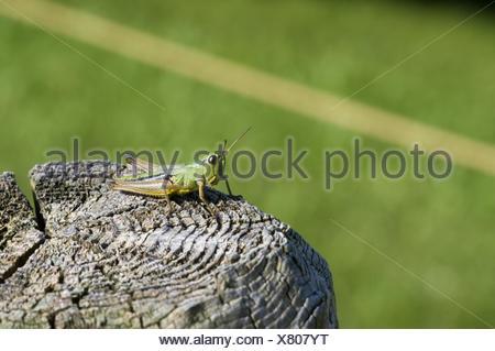 grasshopper on stake - Stock Photo