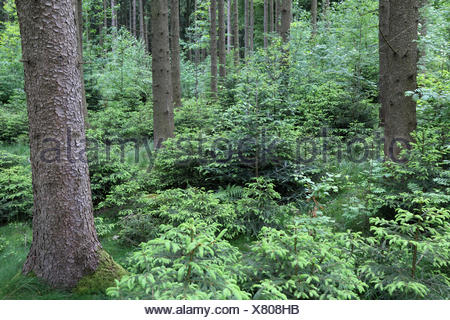 Natural rejuvination in a Bavarian spruce forests - Stock Photo