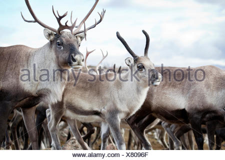 Sweden, Lapland, Levas, Close- up of reindeer (Rangifer tarandus) walking in wild - Stock Photo