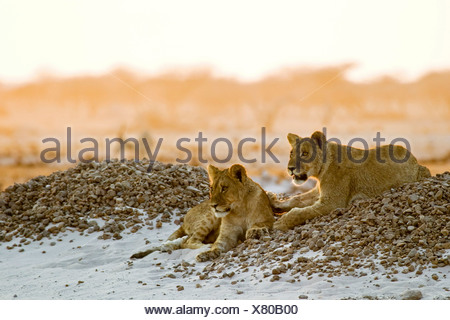 Lion cups (Panthera leo) lying on a small hill are watching for animals in the Nxai Pan, Makgadikgadi Pans National Park, Botsw - Stock Photo