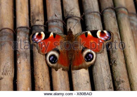 peacock inachis io - Stock Photo
