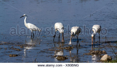 Group of spoonbill birds looking for food - Stock Photo