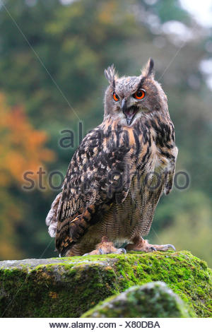 northern eagle owl (Bubo bubo), sitting with open bill on a mossy lookout, Germany - Stock Photo