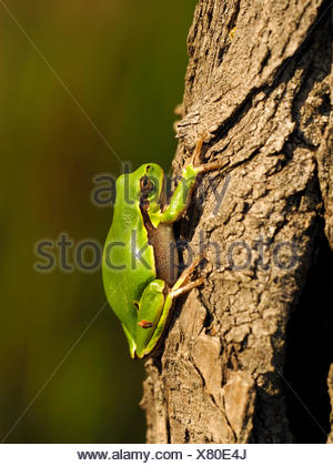 European treefrog, common treefrog, Central European treefrog (Hyla arborea), sits at a tree trunk, Germany - Stock Photo