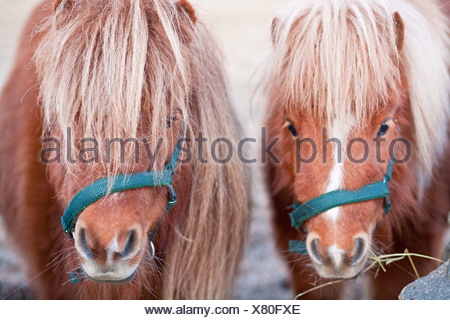 Close-up of horses - Stock Photo