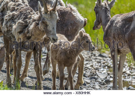 Rocky Mountain Bighorn Sheep (Ovis canadensis) Rocky Mountain Lambs and ewes  in Kananaskis Provincial Park, Alberta, Canada - Stock Photo