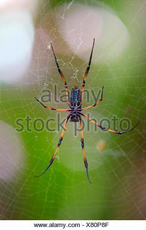 Red-legged golden orb-web spider (Nephila inaurata), spider in a web, Seychelles, Vallee de Mai National Park, Praslin - Stock Photo