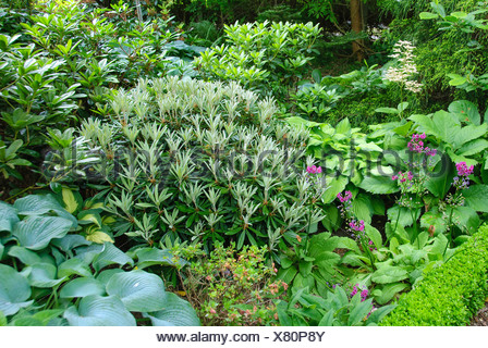 Yak Rhododendron, Yakushima Rhododendron (Rhododendron yakushimanum), in a flowerbed, Germany - Stock Photo