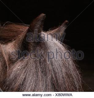 Pure Breed Icelandic Stallion, Iceland - Stock Photo