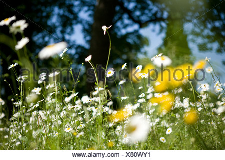 Ox-eye daisies growing wild in the countryside - Stock Photo