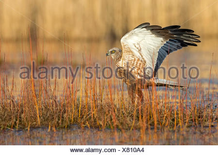 Western marsh-harrier (Circus aeruginosus),hunting,Central Elbe Biosphere Reserve,Saxony-Anhalt,Germany - Stock Photo