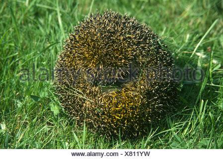 hedgehog curled - Stock Photo