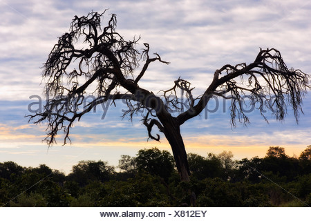 Camel thorn tree, Tanzania, Africa - Stock Photo