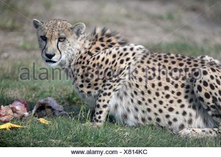A shot of a wild cheetah in captivity - Stock Photo