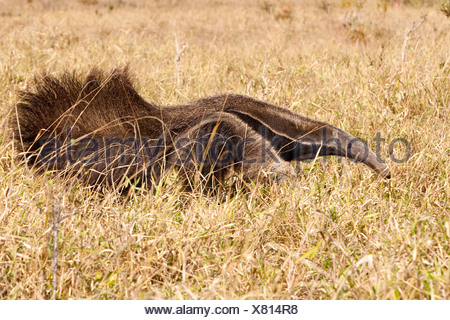 Giant Anteater, Myrmecophaga tridactyla, Bonito, Mato Grosso do Sul, Brazil - Stock Photo
