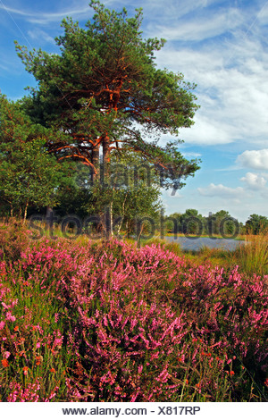 Landscape with flowering Common Heather (Calluna vulgaris) and Scots Pine trees (Pinus sylvestris) and moor lake - Stock Photo