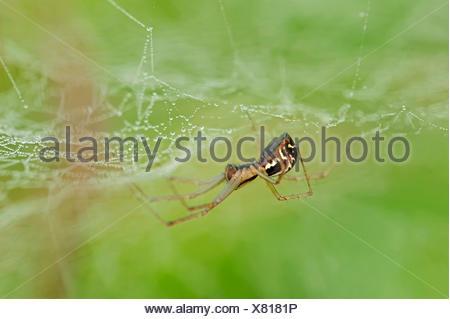 European Sheet-web Spider (Linyphia triangularis), in a web, North Rhine-Westphalia, Germany - Stock Photo