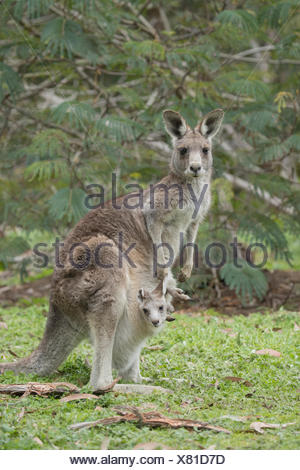 Eastern grey kangaroo (Macropus giganteus) adult and baby joey in it's mothers pouch,Anglesea,Victoria,Australia - Stock Photo