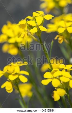 Rhaetian Treacle Mustard, Tufted Wallflower (Erysimum helveticum, Erysimum rhaeticum), blooming, Switzerland - Stock Photo