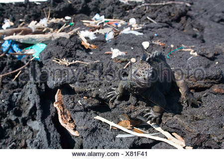 A marine iguana one of the Galapagos' most iconic species wanders through trash that has drifted onto the shore of Santiago Is - Stock Photo