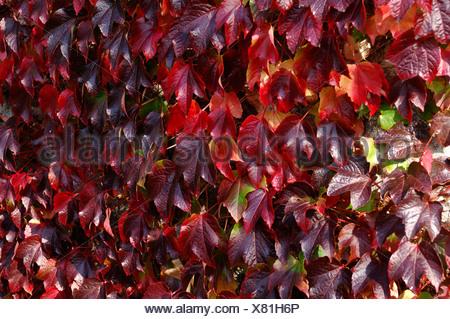 Boston ivy Parthenocissus tricuspidata foliage on stone barn turning red in autumn