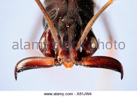 Trap jaw ant (Odontomachus sp.) close-up showing powerful mandibles with sensory hairs. Specimen photographed using digital focus stacking - Stock Photo