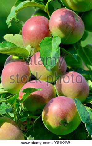 apple tree (Malus domestica), ripe apples on a tree, Germany - Stock Photo