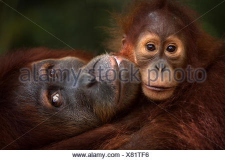 Sumatran orangutan (Pongo abelii) female 'Jaki' aged 16 years baby daughter 'Jodi' aged 2-3 years - portrait. Gunung Leuser National Park Sumatra Indonesia. Rehabilitated released (or descended those which were released) between 1973 1995. - Stock Photo