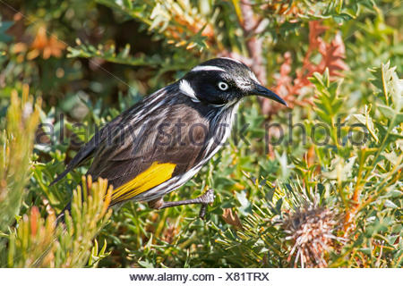 yellow-winged honeyeater (Phylidonyris novaehollandiae), on a Banksia , Australia, Western Australia, Cape le Grand National Park - Stock Photo