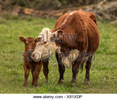 Momma Cow and Calf - Stock Photo