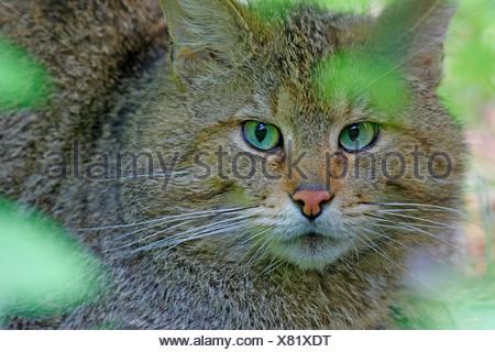wild cat (Felis silvestris), portrait, Germany, Bavaria, Bavarian Forest National Park - Stock Photo