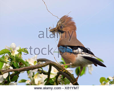 jay (Garrulus glandarius), sitting in a blooming apple tree with a twig in its beak for nesting, Germany - Stock Photo