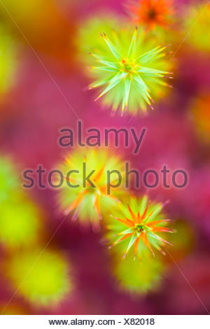 common haircap mos and peat moss - Stock Photo