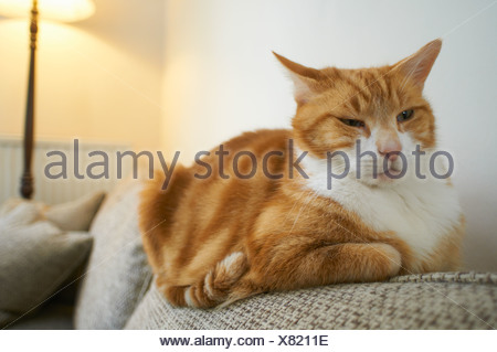 Close up of cat relaxing on couch - Stock Photo