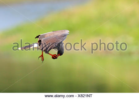 everglade kite, snail kite,  (Rostrhamus sociabilis), flying male feeding an apple snail, USA, Florida - Stock Photo