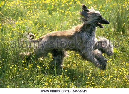 Afghan Hound,  Adult running through Flowers - Stock Photo