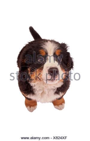 bernese mountain dog - Stock Photo