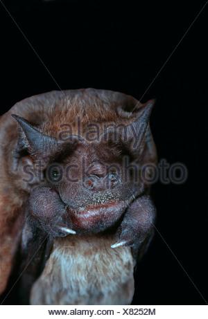 USA, Florida, Velvety Free-tailed Bat (Molossus molossus) - Stock Photo